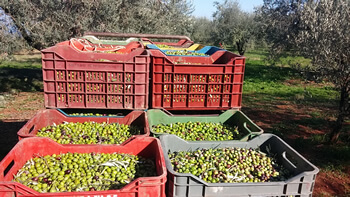 olives in crates